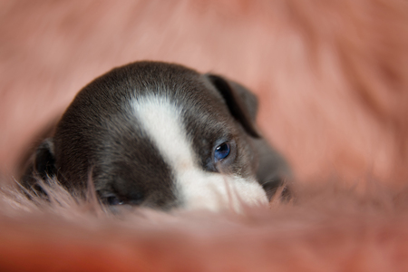 Close up of a tired American Bully puppy sitting with its mouth closed while sleepy looking around on furry pink background