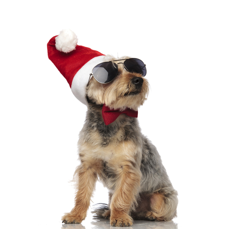 Yorkshire Terrier sitting and looking sideways while wearing Santa Claus hat, sunglasses and a red bow tie on white studio background