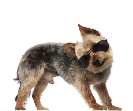 Photo of a Yorkshire Terrier wearing sunglasses while stretching and standing aside on white studio background