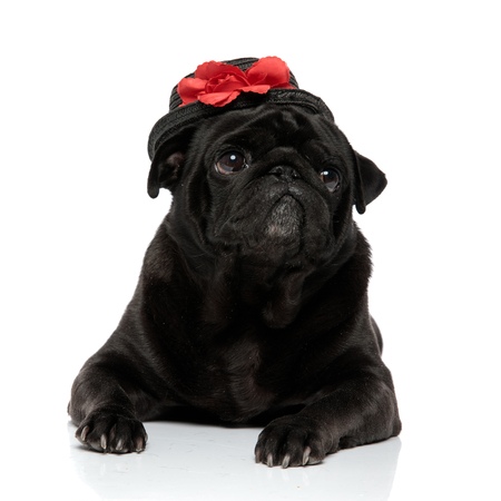 Lovely black pug posing and looking to the side with its mouth closed while wearing an adorable hat with a red rose, lying down on white studio background Banco de Imagens