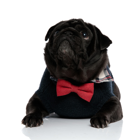 Eager black pug curiously looking upwards with its mouth closed while wearing a blue sweater and a red bowtie, lying down on white studio background