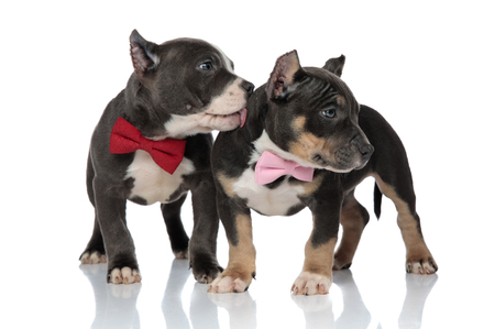 Adorable American Bully puppies curiously looking to the side while wearing bowties and one of them is licking the other, standing on white studio background