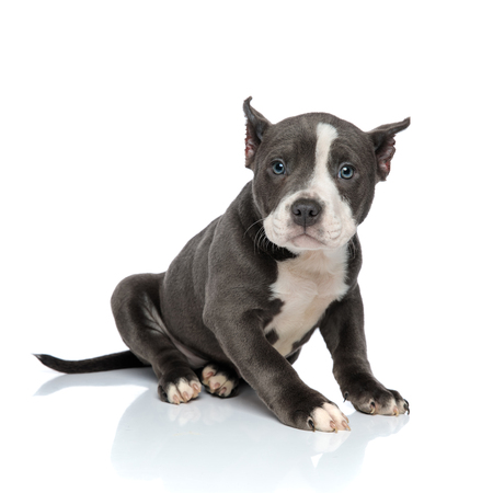 Lovely American Bully looking away with its mouth closed while sitting on white studio background Stock Photo