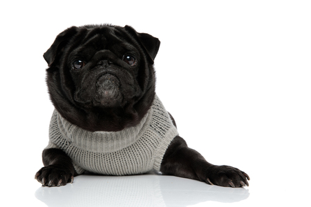 Brave looking black pug staring to the camera with its mouth closed while wearing a gray sweater and lying down on white studio background Banco de Imagens - 124631450
