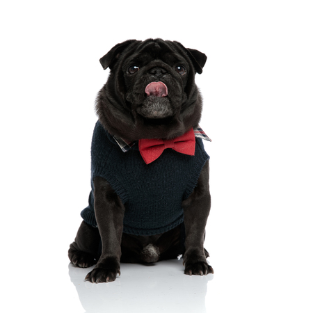 Lovely pug looking upwards and licking his nose while wearing a red bowtie and a blue sweater, sitting on white studio background Stock Photo