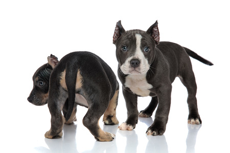 Two concerned American Bully puppies standing on white studio background, one looking towards the camera while the other is standing backwards