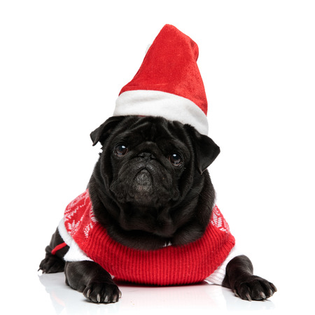 Lovely pug laying down and looking to the camera while wearing a Christmas jacket and hat on white studio background