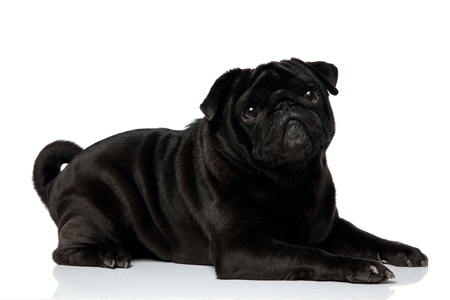 Side view of a lovely black pug looking upwards with its mouth closed while lying down on white studio background Stock Photo
