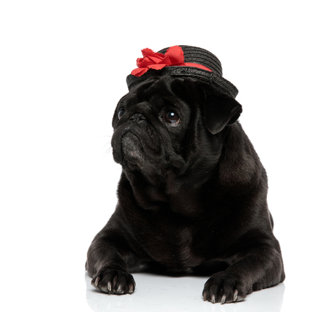Curious pug looking to the side while wearing a black hat with a red flower decoration, lying down on white studio background Banco de Imagens