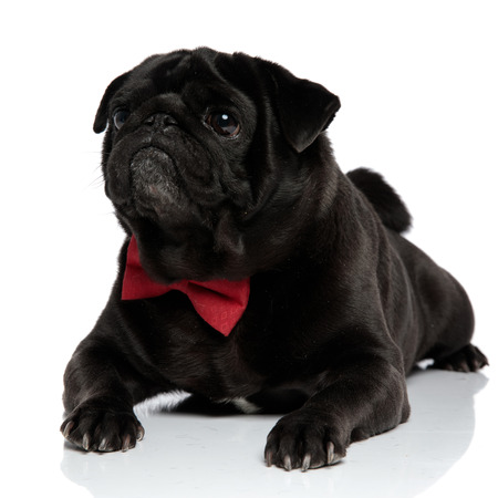 Curious pug looking to the side while wearing a red bowtie and lying down on white studio background