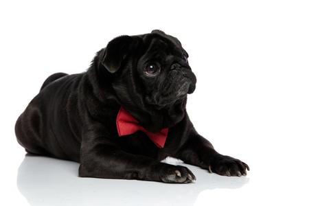 Harmless pug looking to the side with puppy eyes and begging while wearing a red bowtie and lying down on white studio background