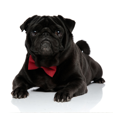 Elegant black pug looking forward with its mouth closed while wearing a red bowtie and lying down on white studio background