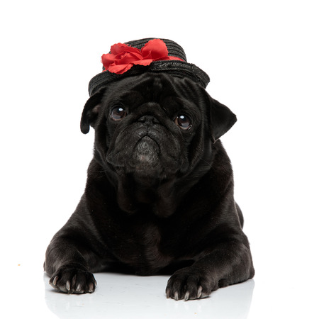 Adorable pug looking to the camera with its mouth closed while wearing an elegant black hat with a red decoration and lying down on white studio background Banco de Imagens - 124631892
