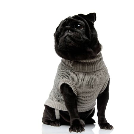Adoreble black pug looking sideways and wearing a gray sweater while sitting with its mouth closed on white studio background Фото со стока