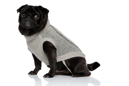 Frightened black pug staring to the side and wearing a gray sweater while sitting on white studio background