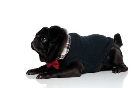 Frightened pug looking upwards with its mouth closed while wearing a red bowtie and blue sweater, lying down on white studio background