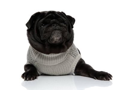 Concerned pug looking away and making a funny face while wearing a gray sweater and lying down on white studio background