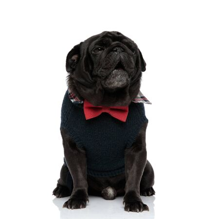 Sleepy black pug yawning with its mouth open while wearing a blue sweater and a red bowtie, sitting on white studio background Фото со стока