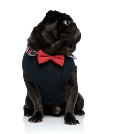 Mystified pug looking to the side while wearing a blue sweater and a red bowtie, sitting on white studio background