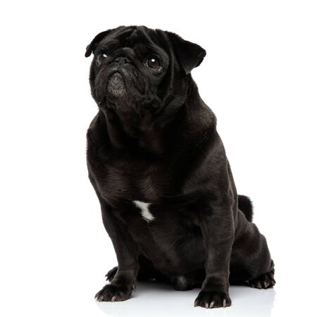 Guilty looking black pug staring and waiting with its mouth closed while sitting on white studio background