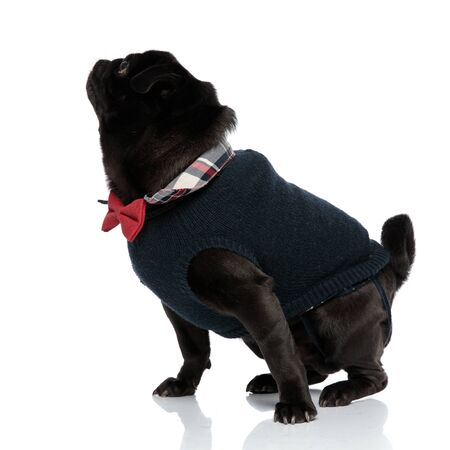 Side view of mystified pug curiously looking up while wearing a blue sweater and a red bowtie, standing on white studio background Фото со стока