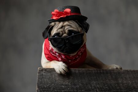 adorable pug looking to side, laying down, sitting and resting on a wooden box, wearing a hat, a pair of sunglasses and a red bandana on a black background in a studio 版權商用圖片