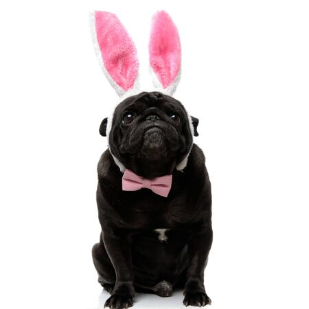 Guilty pug begging and looking forward while wearing a headband with bunny ears and a pink bowtie, sitting on white studio background Banque d'images