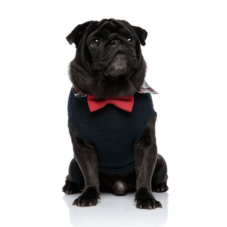Curious pug looking away with its mouth closed while wearing a red bowtie and a blue sweater, sitting on white studio background Фото со стока