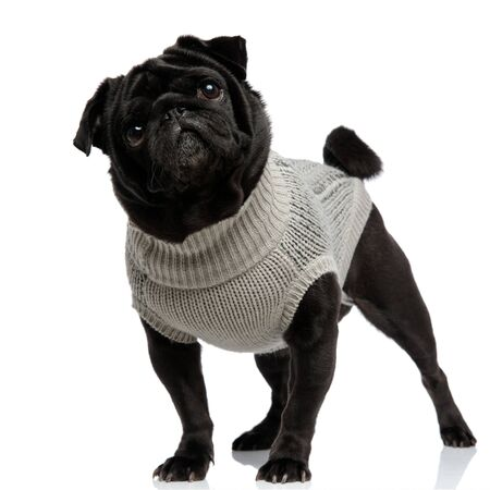 Mystified pug looking away with its mouth closed while wearing a gray sweater and standing on white studio background