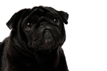 Cerca de un adorable pug negro mirando hacia arriba con ojos de cachorro sobre fondo blanco de estudio Foto de archivo