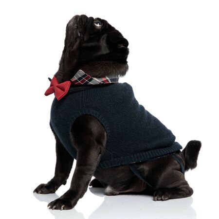 Side view of a curious looking black pug staring upwards while wearing a red bowtie and a blue sweater, sitting on white studio background Фото со стока