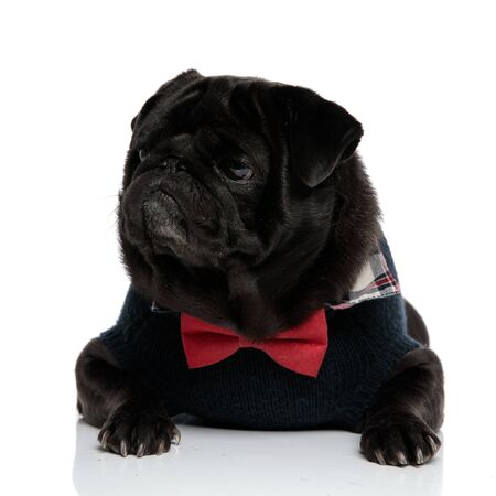Upset black pug looking to the side and frowning while wearing a red bowtie and a blue sweater, lying down on white studio background