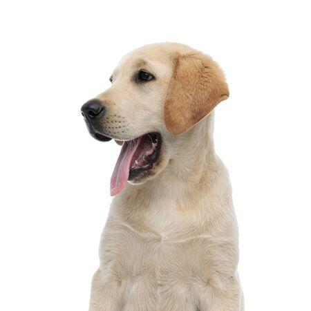 Seitenansicht des Kopfes eines keuchenden Labrador Retrievers auf weißem Hintergrund Standard-Bild