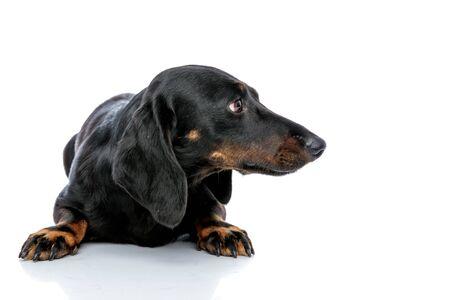 lying down cute Teckel puppy dog with black fur looking sideways on white studio background