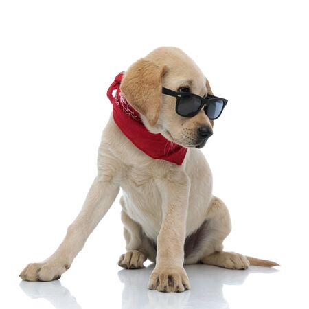 adorable labrador retriever puppy wearing sunglasses and red bandana looks to side while sitting on white background