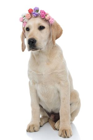 cute labrador retriever sitting and wearing flowers headband , looks away to side on white background 免版税图像
