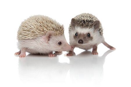 couple of two hedgehogs standing side by side on white background, full body, full length Banque d'images