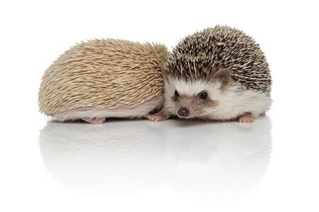 couple of two cute hodgehogs standing isolated side by side, holding hands and protecting each other on white background, full body
