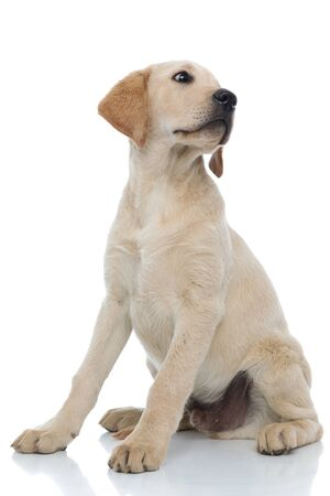 worried little labrador retriever puppy dog looks to side over its shoulder on white background