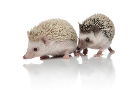 couple of two adorable hedgehogs walking isolated side by side, exploring on white background, full body
