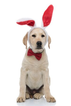 tired labrador retriever puppy dressed as easter bunny with red big bunny ears and bow tie sits on white background Imagens