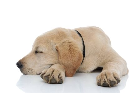 adorable labrador retriever puppy takes a nap with head on its paw on white background