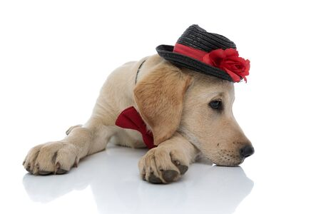 sad cute labrador retriever puppy resting its head on paws while lying down on white background. it wears a hat and red bow tie
