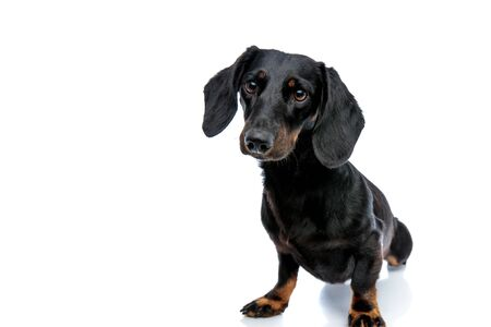 seated sweet Teckel puppy dog with black fur looking ahead curiously on white studio background