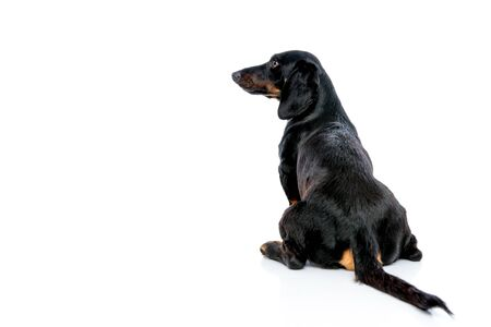 seated tiny Teckel puppy dog with black fur looking sideways from behind on white studio background Фото со стока