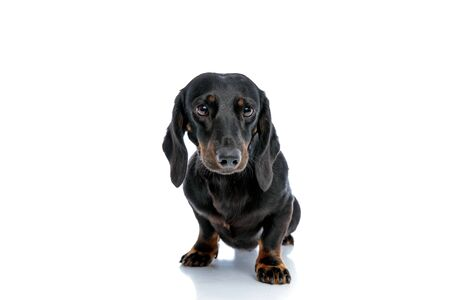 seated cute Tickel puppy dog with black fur looking ahead with big eyes on white studio background