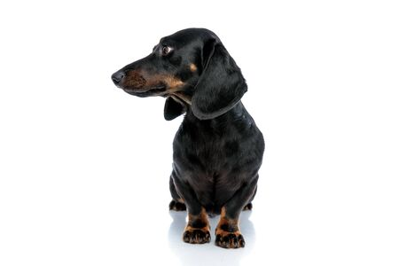 seated pretty Teckel puppy dog with black fur looking sideways pensively on white studio background