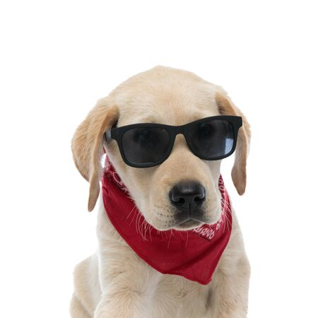 cool young labrador retriever puppy wearing sunglasses and red bandana looks at the camera on white background