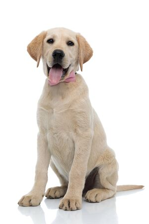 happy elegant labrador retriever puppy wearing pink bow tie is sitting on white background