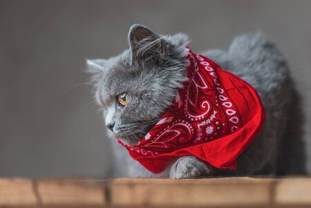 lying down on wood sweet British Longhair cat with gray fur and red bandana looking sideways pensively on gray studio background